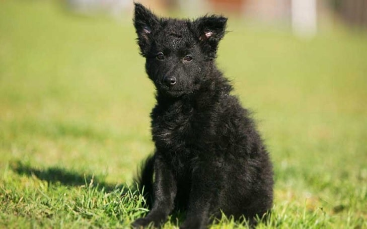 Croatian Sheepdog Puppies development and their behavior