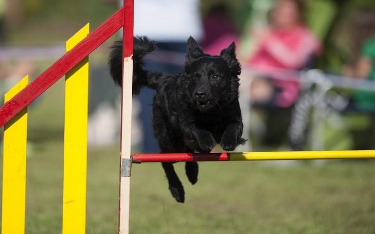 Croatian Sheepdog Training Methods and Strategies