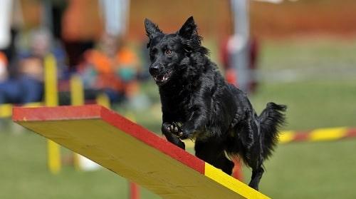 Croatian Sheepdog agility training