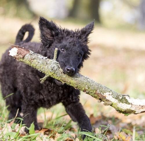 Croatian Sheepdog bringing a piece of wood