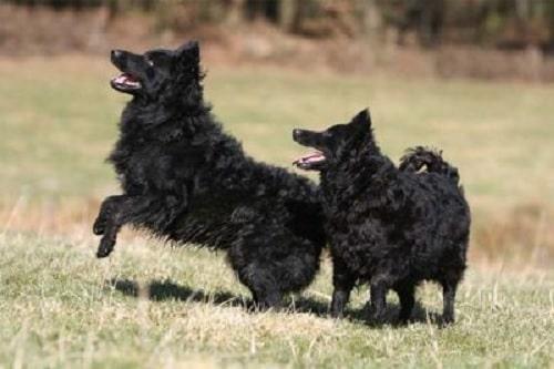 Croatian Sheepdogs playing