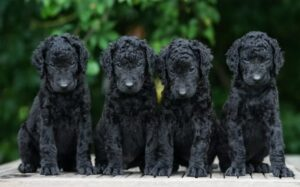 Curly-Coated Retriever Puppies development stage and their behavior-min