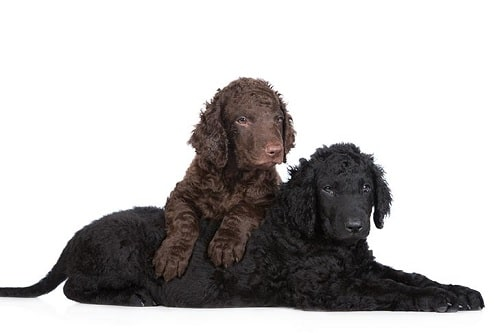 Curly-Coated Retriever puppies playing