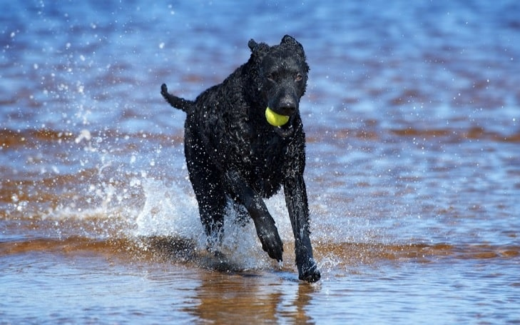 Curly Coated Retriever training methods and strategies