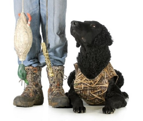 Curly Coated Retriever with its master