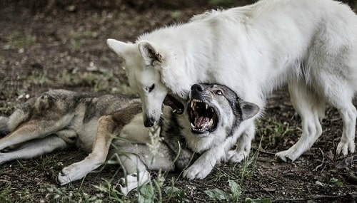 Czechoslovakian Vlcak dogs playing