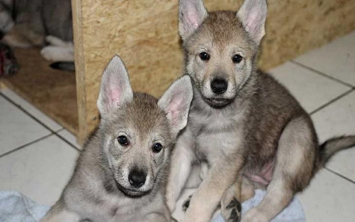Czechoslovakian Vlcak puppies development and behavior