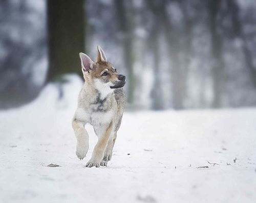 Czechoslovakian Vlcak puppies running on the snow