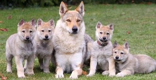 Czechoslovakian Vlcak puppies sitting with their mother
