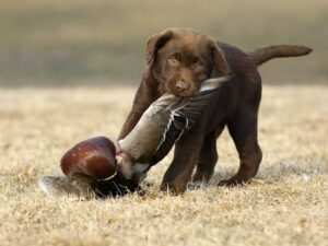 Chesapeake Bay Retriever diets and feeding methods