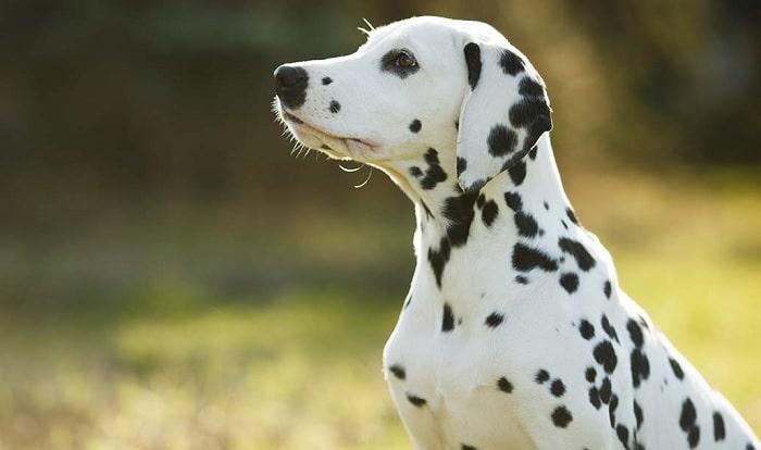 A picture Dalmatian sitting.