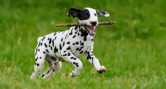 Dalmatians playing on the ground with stick.