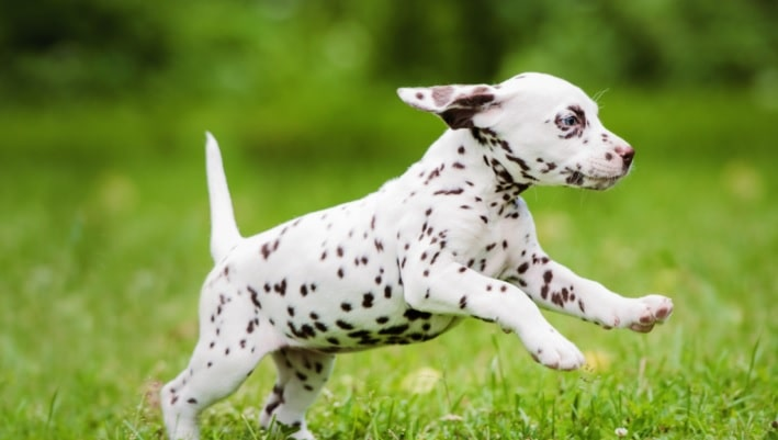 Baby Dalmatian playing on the ground