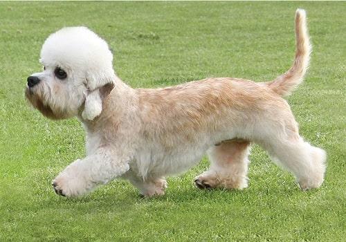 A fully grown Dandie Dinmont Terrier