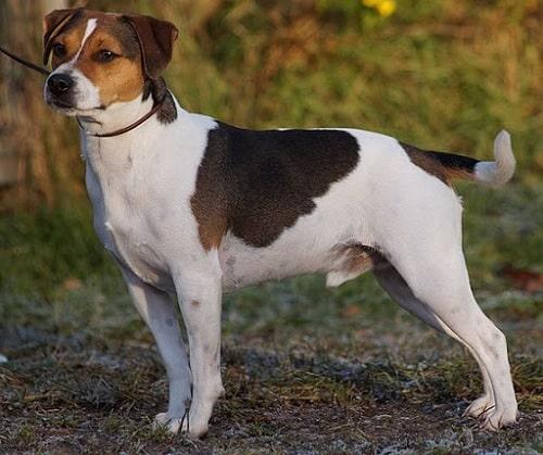 An Adult Danish-Swedish Faarmdog