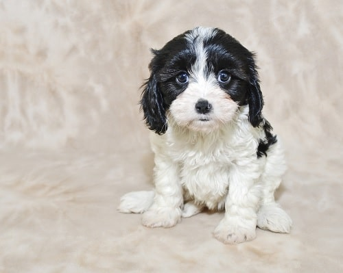 Cavachon Diets posing for a photo