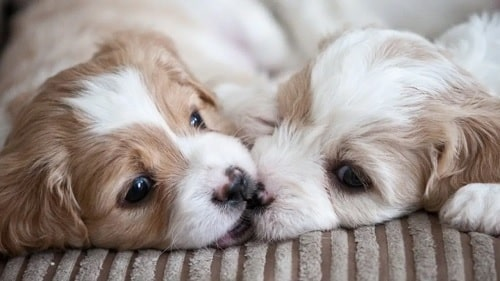 Cavachon puppies playfully biting each other