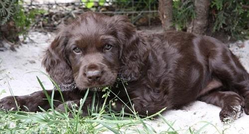 Cute little Deutscher Wachtelhund Puppy