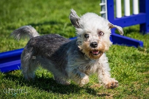 Dandie Dinmont Terrier Agility Training