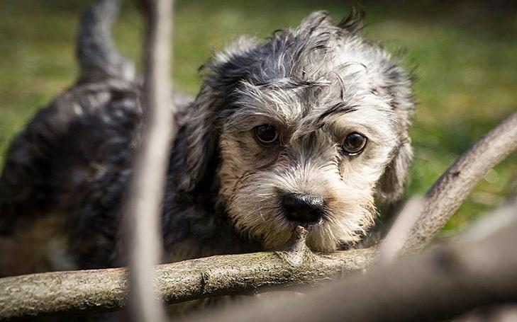 Dandie Dinmont Terrier Puppy Development and Behavior