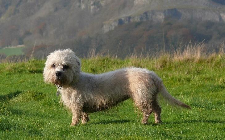 Dandie Dinmont Terrier Training Methods and Strategies