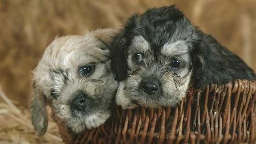 Dandie Dinmont Terrier puppies sitting in the basket