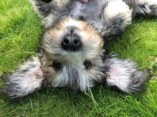 Dandie Dinmont Terrier puppy rolling on the ground