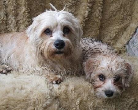 Dandie Dinmont Terrier sitting with its puppy