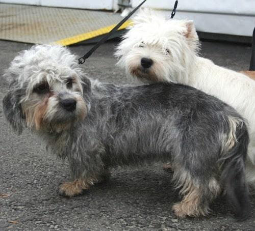 Dandie Dinmont Terriers on a leash