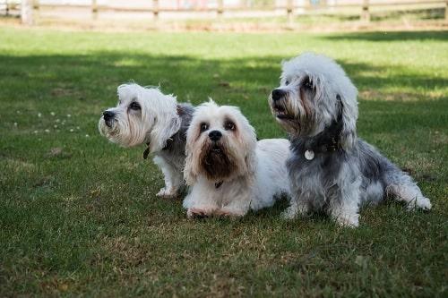 Dandie Dinmont Terriers sitting on the field