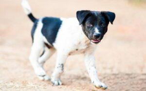 Danish-Swedish Farmdog Puppies Development Stages and Behavior