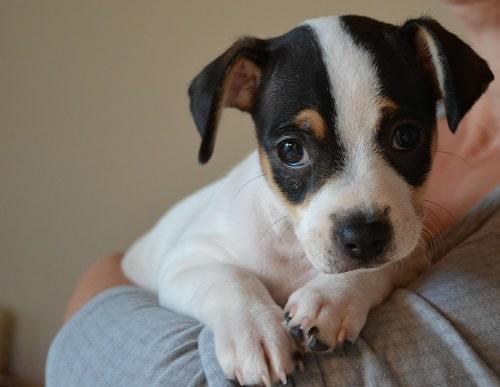 Danish-Swedish Farmdog Puppy sitting on its owner arms