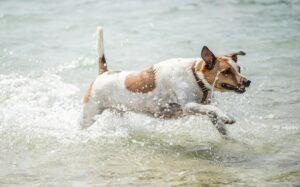 Danish-Swedish Farmdog Training Methods and Strategies