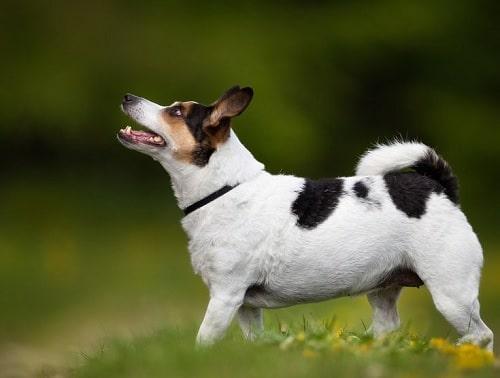 Danish-Swedish Farmdog on the field