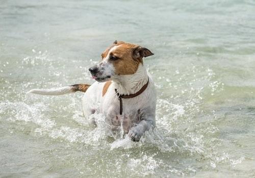 Danish-Swedish Farmdog playing in water