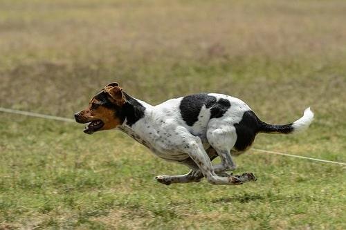 Danish-Swedish Farmdog running on the field