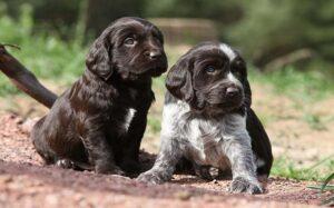 Deutscher Wachtelhund Puppies Development Stages and Behavior