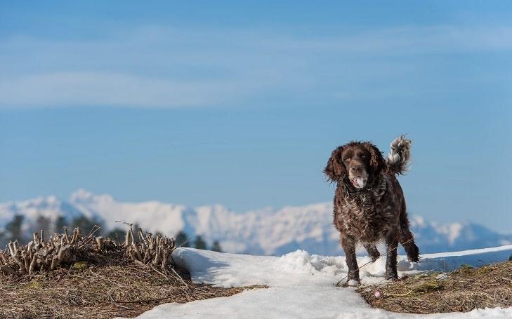 Deutscher Wachtelhund Training Methods and Strategies