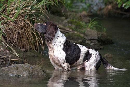 Deutscher Wachtelhund in the water