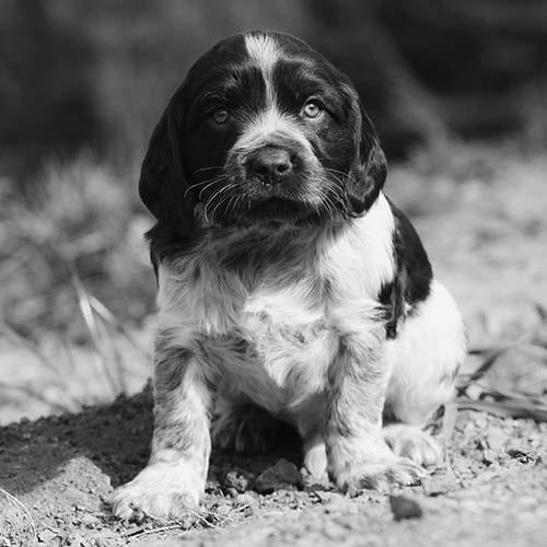 Deutscher Wachtelhund puppy sitting