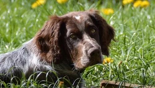 Deutscher Wachtelhund sitting