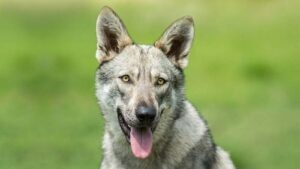 Saarloos Wolfdog Dog Breed Information