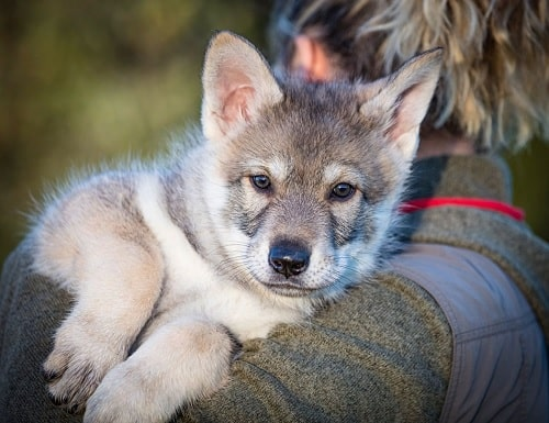 Saarloos Wolfdog master carrying him