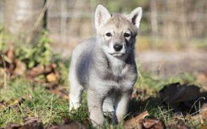 Saarloos Wolfdog puppies developmental stages and their behavior