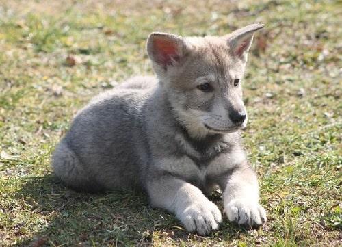Saarloos Wolfdog puppy sitting