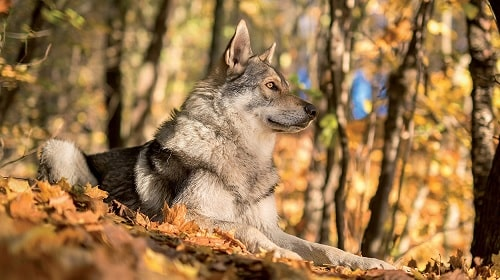 Saarloos Wolfdog sitting in the forest