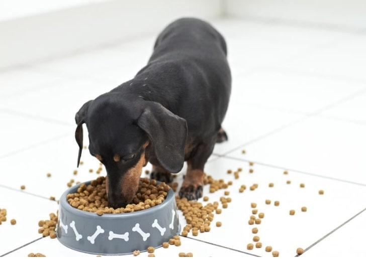 Dachshund eating his dog food