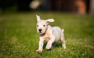 Dogo Argentino puppy behavior and character