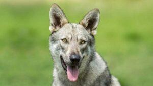 Saarloss Wolfdog training methods and strategies.