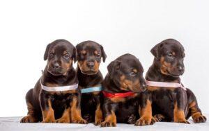 Doberman Pinscher puppies development